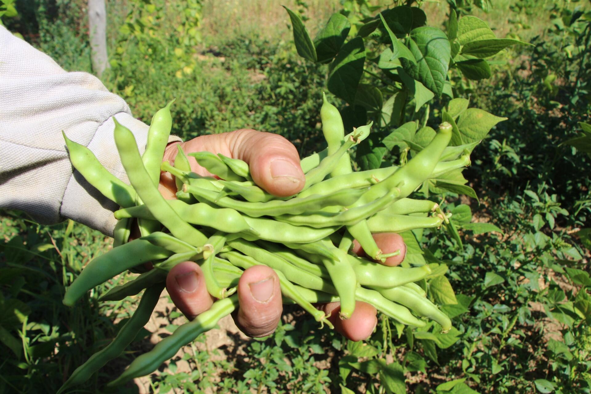 Bilecik'in tescilli ürünü boncuk fasulye de hasat başladı