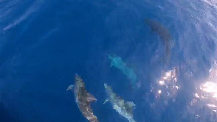 Yunuslar, turist teknesinin yanında yüzdü