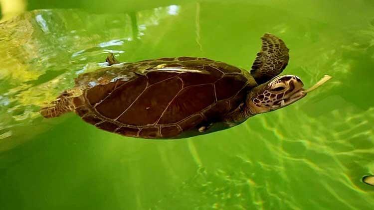 Didim ve Alanya'da hayalet ağ, iki deniz kaplumbağasının yüzgecini kopardı
