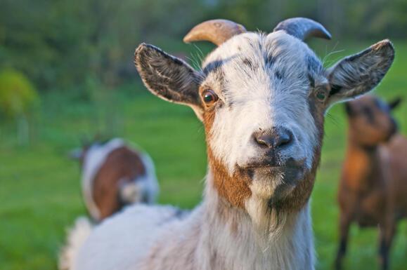 Rüyada keçi görmek ne anlama gelir? Rüyada keçi sürüsü görmenin tabiri