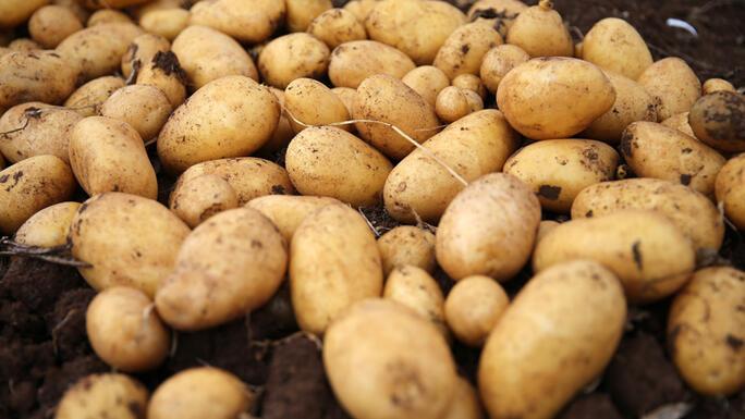 Rüyada patates görmek ne anlama gelir? Rüyada patates toplamak ve yemek tabiri