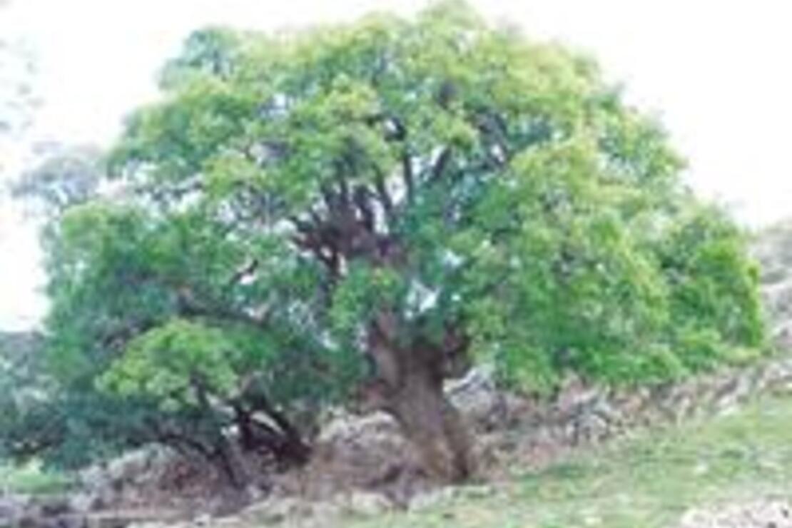 Anıt ağaç gezisi