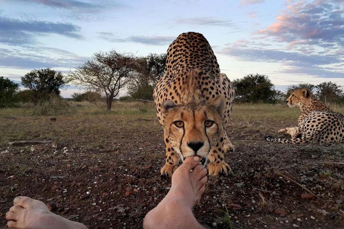 Çita ve fotoğrafçının ilginç hikâyesi