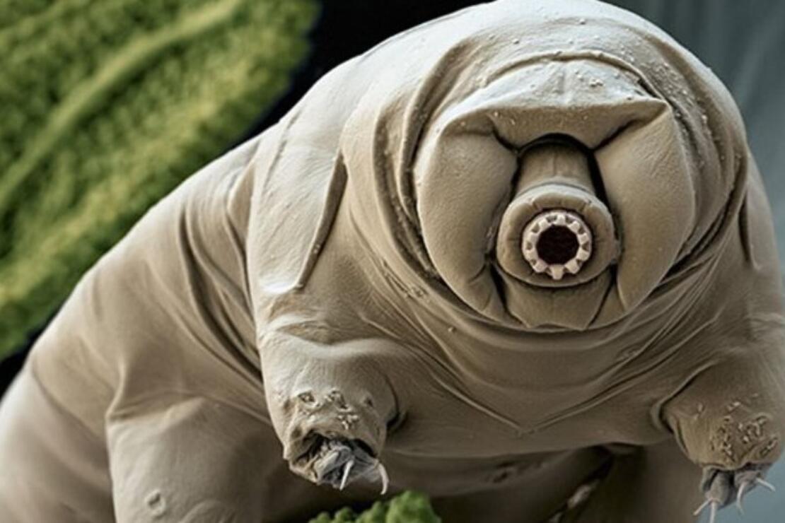 10 milyar yıl yaşayabilen ilginç canlı: tardigrad