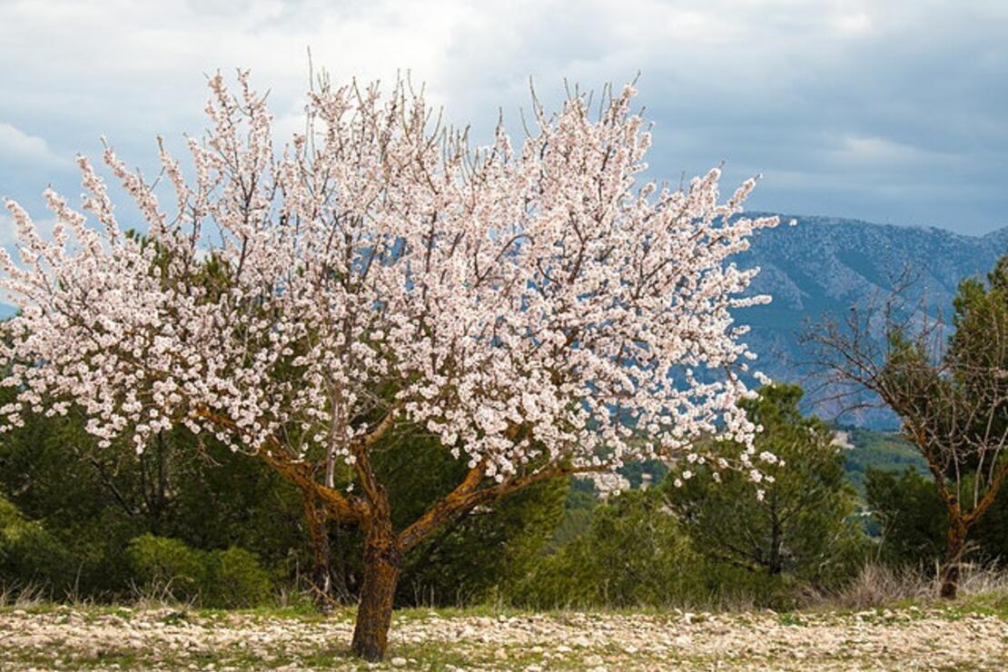 badem ağacı ile ilgili görsel sonucu
