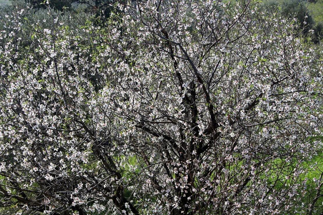 Badem diyarında badem çiçekleri