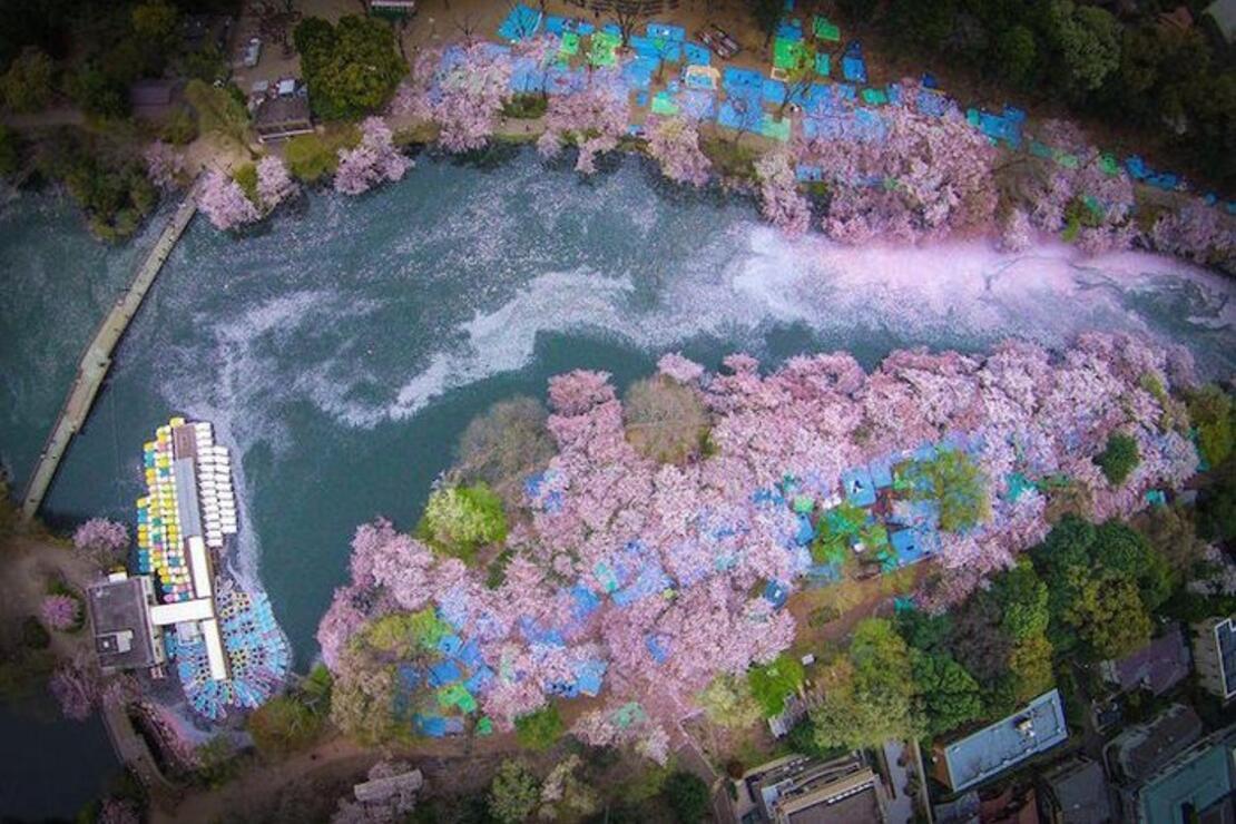 Japonya'da kiraz çiçeklerinin suya düşmesiyle oluşan muhteşem şölen
