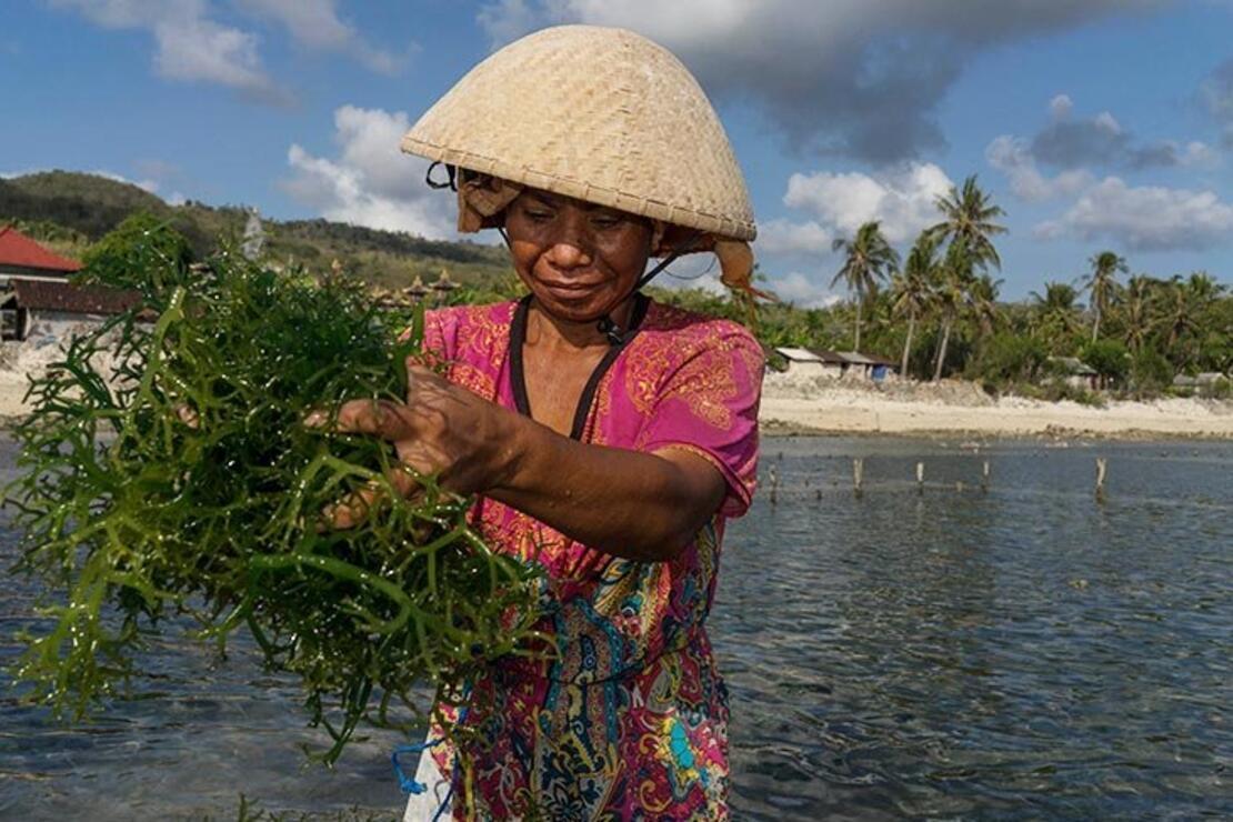 Geçimlerini deniz yosunu toplayarak sağlıyorlar