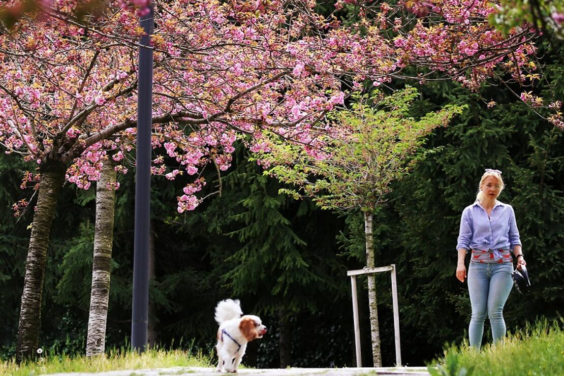 Ankara'nın 'Japon Yolu' bu yıl da rengârenk