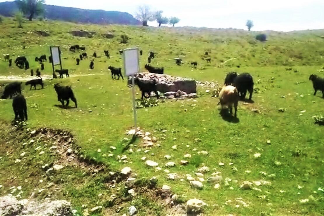 Antik kentte koyunlar otluyor