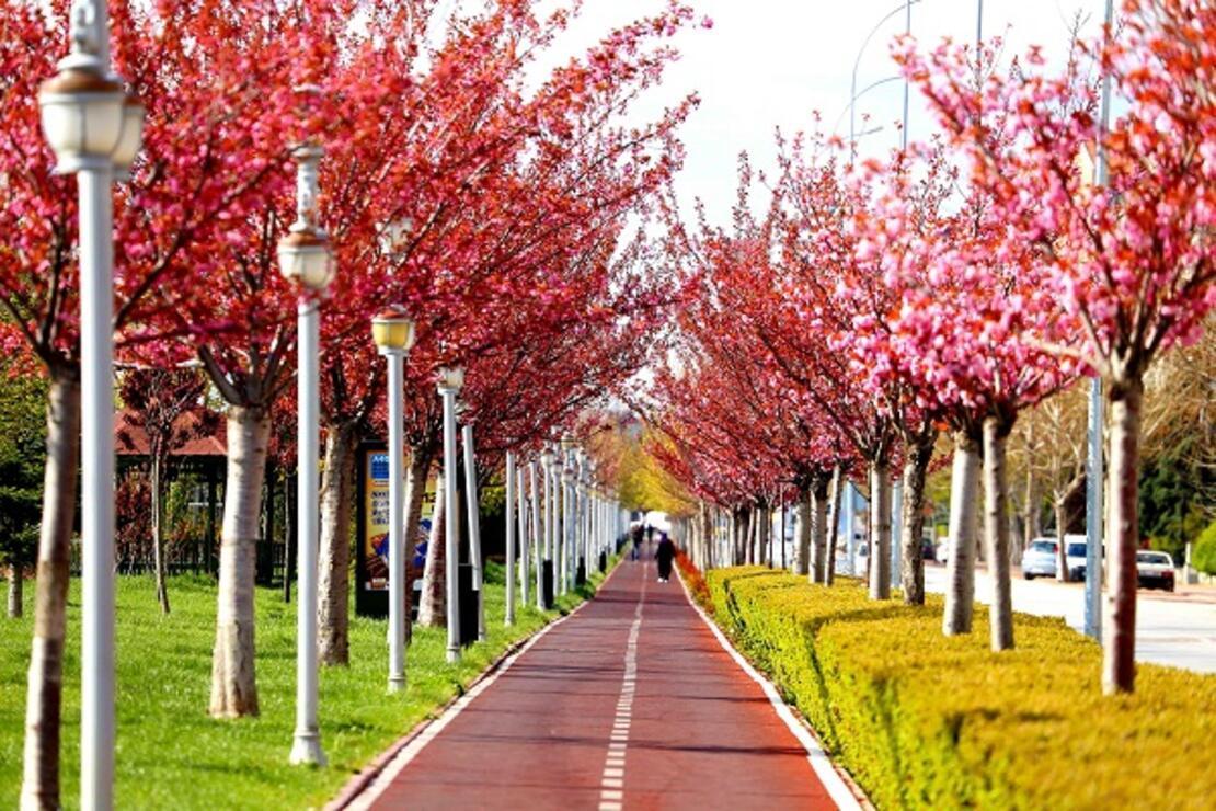 Kyoto'yla kardeş şehir olan Konya'daki parklarda yüzlerce sakura ağacı var