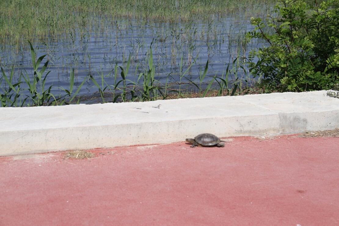 Kaplumbağaların göle geçişine 'beton set' engeli