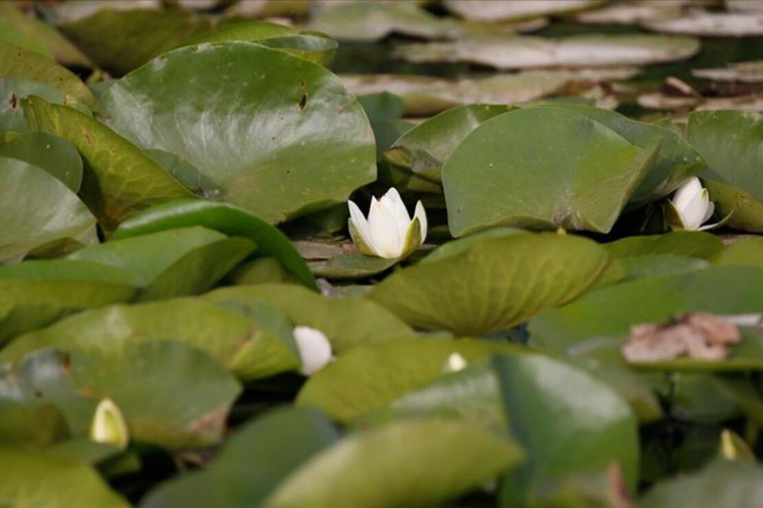 Eber Gölü'nde açan nilüferler görsel şölen sunuyor