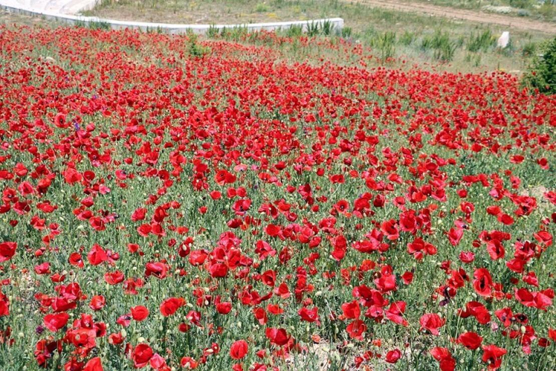 Yozgat'ta gelincik çiçekleri görsel şölen oluşturdu