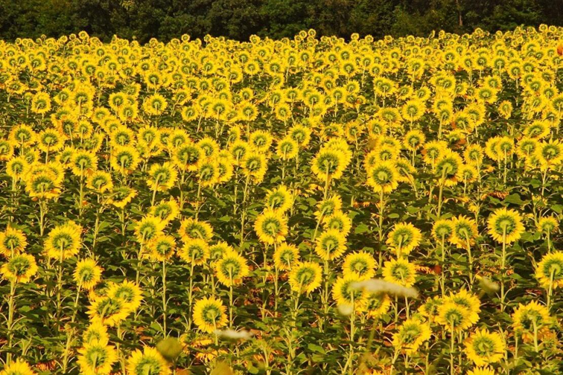 Özgürlüğe giden 'sarı cennet'