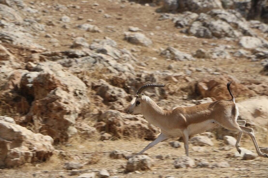 Terörden temizlenen Cudi Dağı'na 50 ceylan bırakıldı