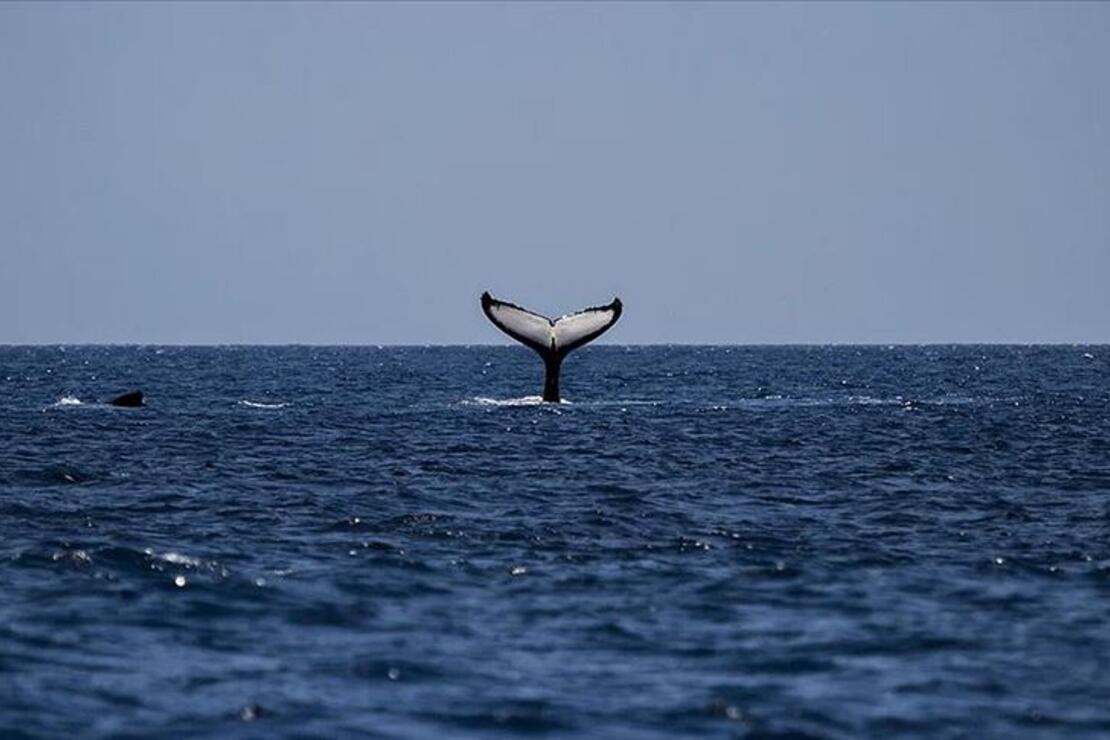 Balinaların neslinin tükeniyor! Bilim insanlarından küresel çağrı...