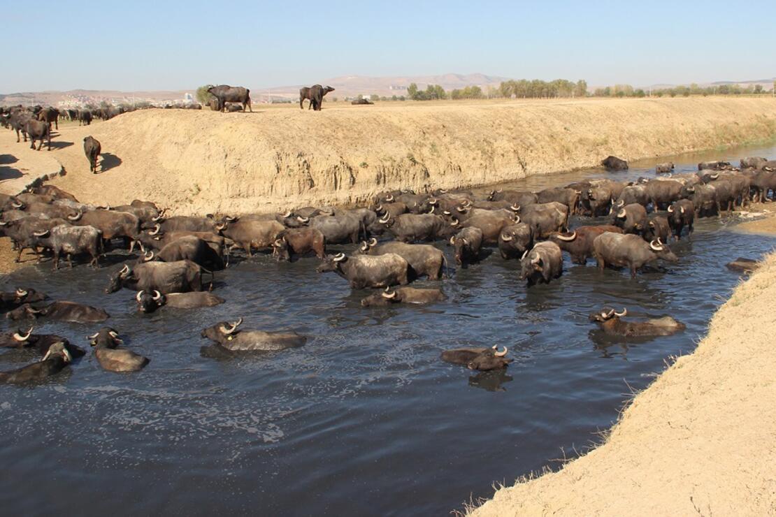 Burası Afrika bozkırları değil 'Afyonkarahisar'