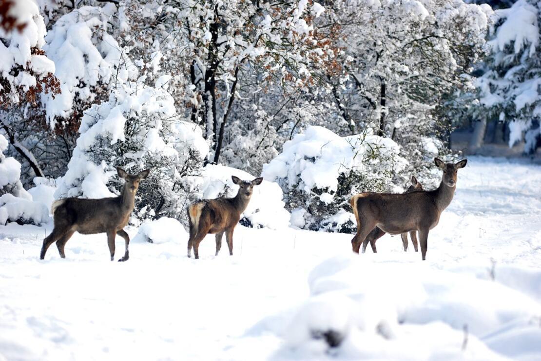 Kızıl geyikler,karlı ormanda ortaya çıktı... Karposttalık görüntüler oluşturdu