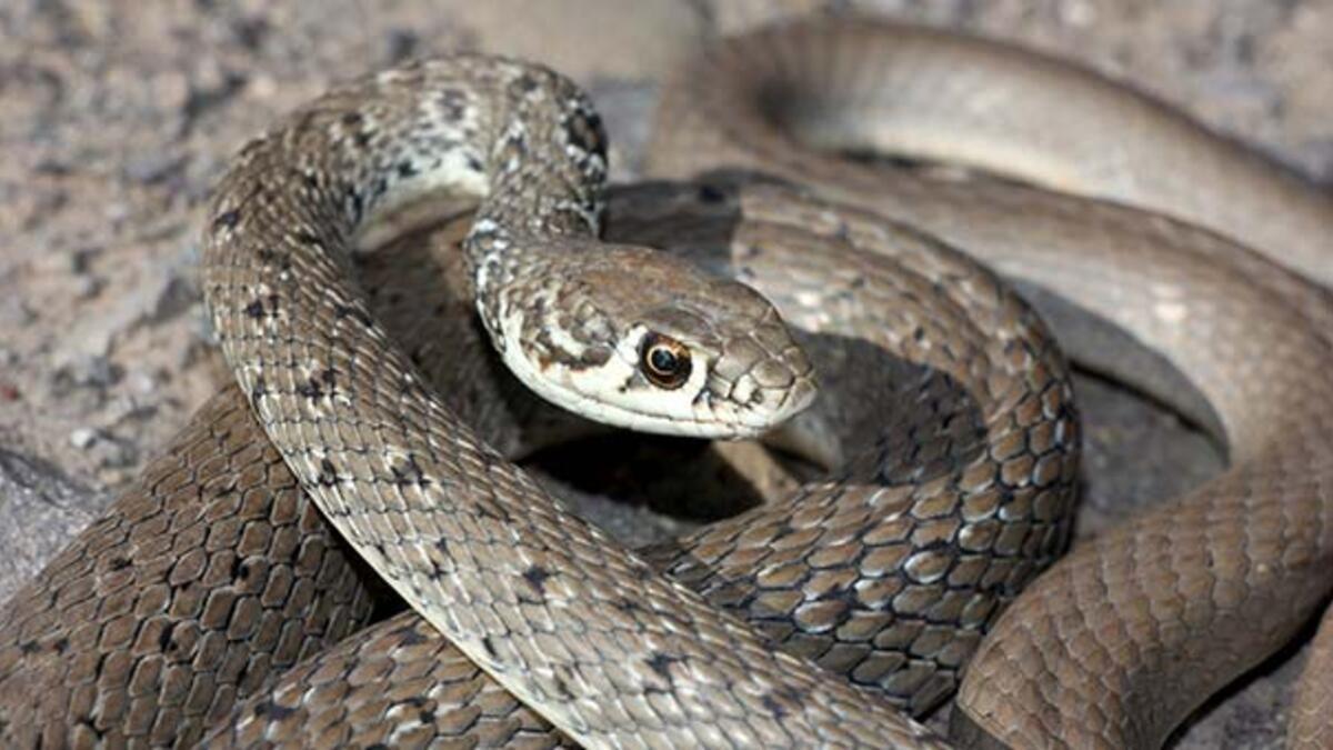 Bayburt'ta ok yılanı fotoğraflandı - Son Dakika Haber