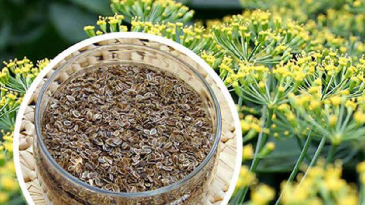 Rezene çayı nasıl demlenir? Rezene çayının faydaları neler?