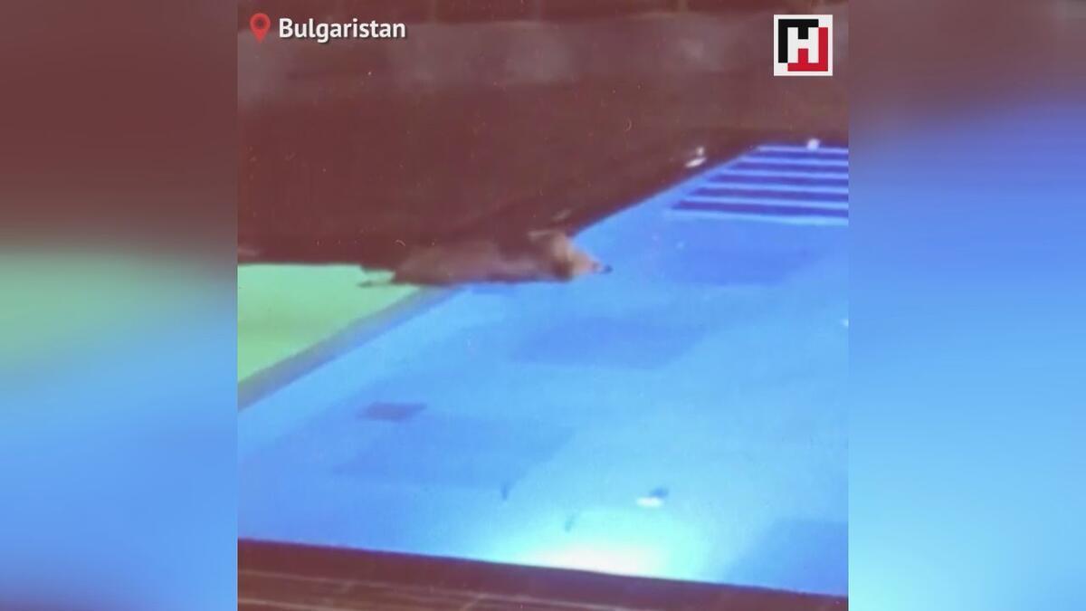Ayıların havuz sefası