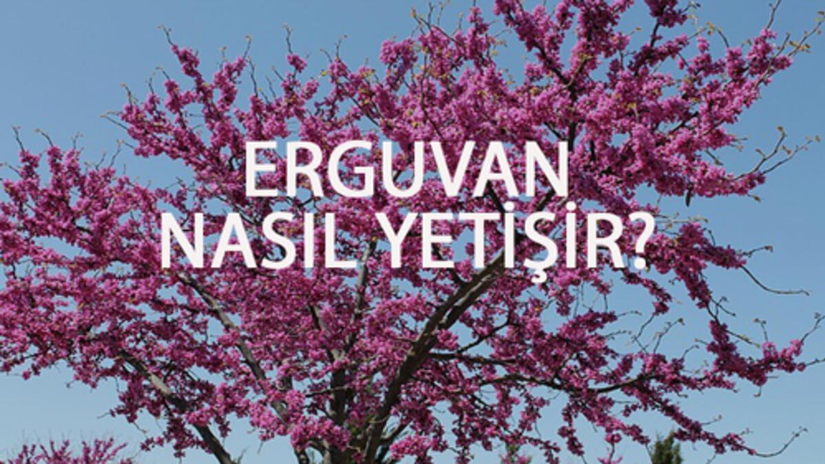 Erguvan Nasıl Yetişir? Erguvan Türkiye'de En Çok Ve En İyi Nerede Yetişir  Ve Nasıl Yetiştirilir?