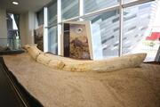 'Kayserideki fosiller yeni bir türe ait olabilir'