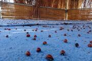 Saros Körfezinde uğur böceği istilası