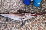 Çanakkalede yakalandı 1,5 metre uzunluğunda... Kilosu 20 TL