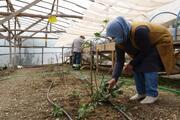 Aronya meyvesinin deneme üretimleri başarıyla tamamlandı