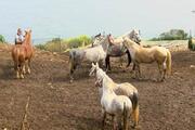 İBBnin hibe ettiği kayıp 99 atla ilgili yeni gelişme O müdürün memurluktan ihracı istendi