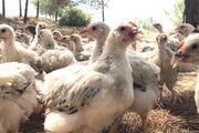 Adanada 300 civciv için harekete geçildi