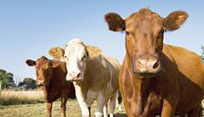 400 bin sığır vergisiz geliyor
