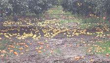 Dolu yağışı meyve bahçelerinde zarar yol açtı