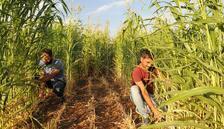 Pilot üniversiteden biobenzin üretimine destek