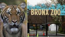 Son dakika haberi: ABD'de hayvanat bahçesindeki kaplanda koronavirüs çıktı