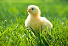 Rüyada civciv görmek ne anlama gelir? Rüyada yumurtadan civciv çıkması tabiri