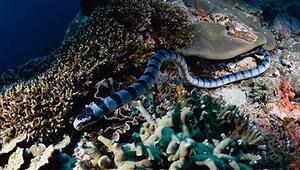 Dünyanın en zehirli deniz yılanıyla burun buruna geldi