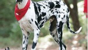 Dünyanın en büyük köpeği Gibson öldü
