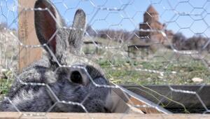 Akdamar Adası'ndaki tavşanlar toplanıyor