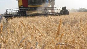 Buğdayda pas hastalığı tehlikesi