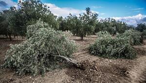Somada santral için zeytin ağaçları kesildi