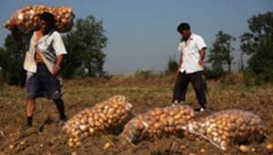 Yerli patates tohumu üretimi için kollar sıvandı