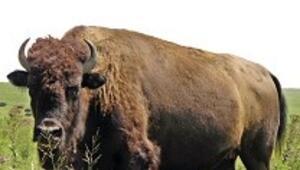 Yerli etçiyi 'bufalo' korkusu sardı, fiyatta 20 lira göründü