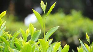İlk Türk beyaz çayı kilosu 1250 dolardan satıldı