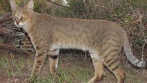 Nesli tehlike altındaki saz kedileri toplanıyor