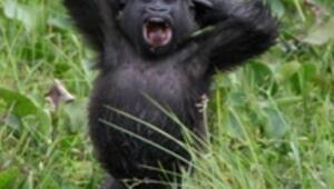 Gorillerin yılı