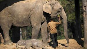 Sabah yürüyüşü yapan adamı fil ezdi