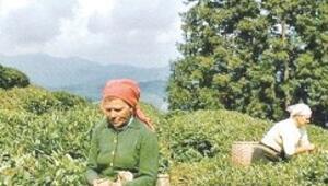 Çayın tadı kaçıyor, toplamayı 'ucuz Gürcü işçiler' yapıyor